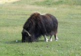 boeuf musqué - zoo St Félicien