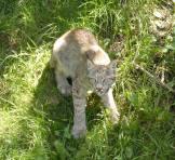 lynx - zoo St Félicien