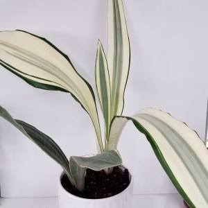 Sanseveria-Snakeplants