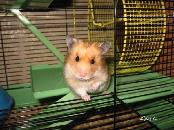 viziunea hamsterului