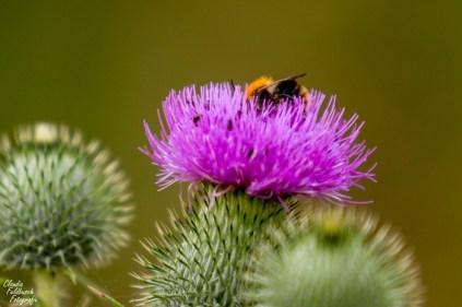 Bienendiestel ;)