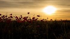 Mohn im Sonnenaufgang