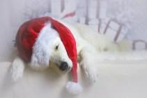 Bellis wird Weihnachten verschlafen....