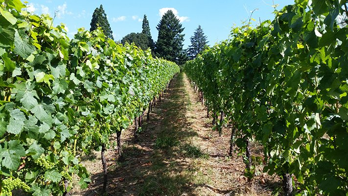 Beautifully maintained Tonnelier Vineyard.