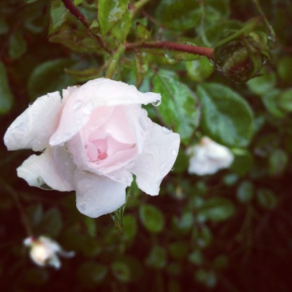 30 Days Wild – Day 6 – Raindrops on Roses