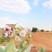 Aak - a beautiful plant that thrives in the harsh conditions of the Thar Desert.