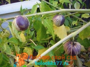 Физалис овощной: описание, особенности выращивания, посадки и ухода, фото