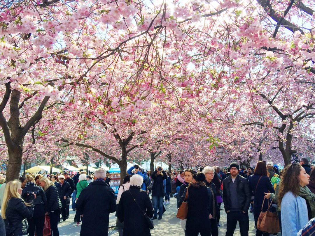 cherry-trees-people