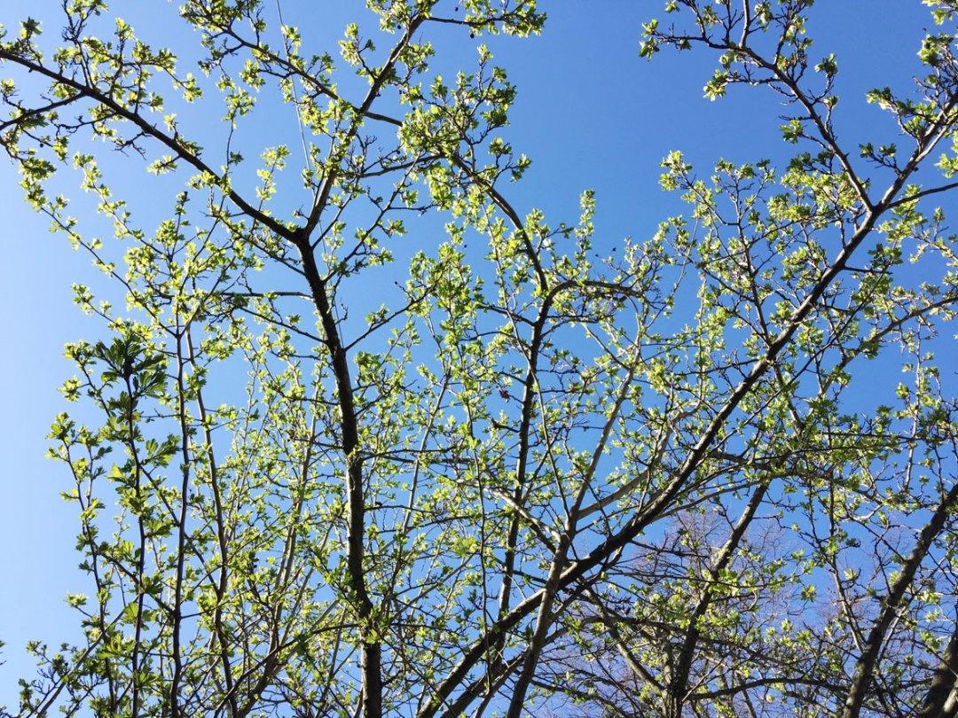 green-buds-tree