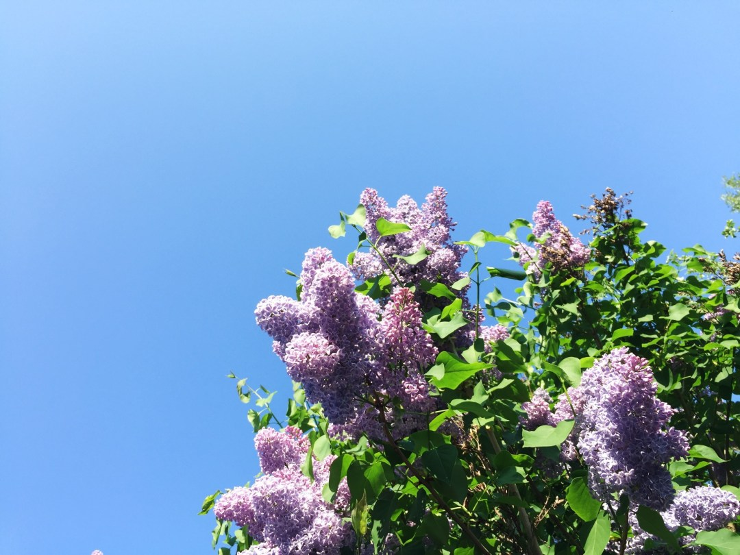 nature trees flowers lilacs