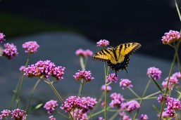 Yellowtail on Verbena