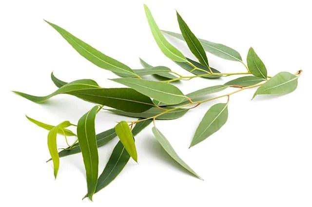 o-eucalipto-e-um-remedio-natural-para-congestao-nasal Receitas caseira para ronco: durma em paz e sem incomodar ninguém