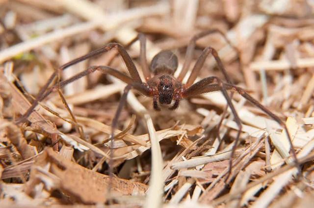 A aranha marrom é um dos tipos de aranhas brasileiras