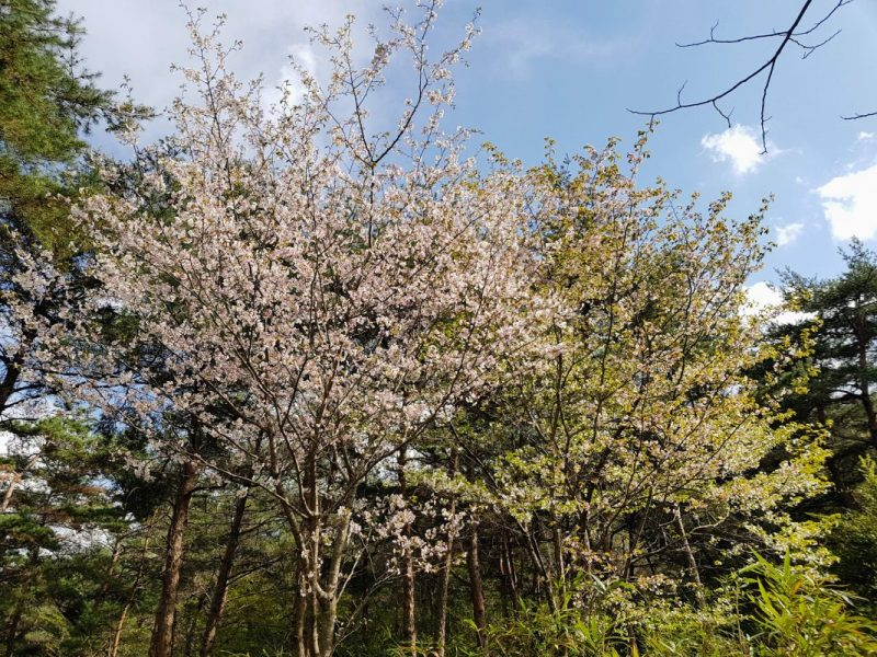 seoul forest cherry blossom
