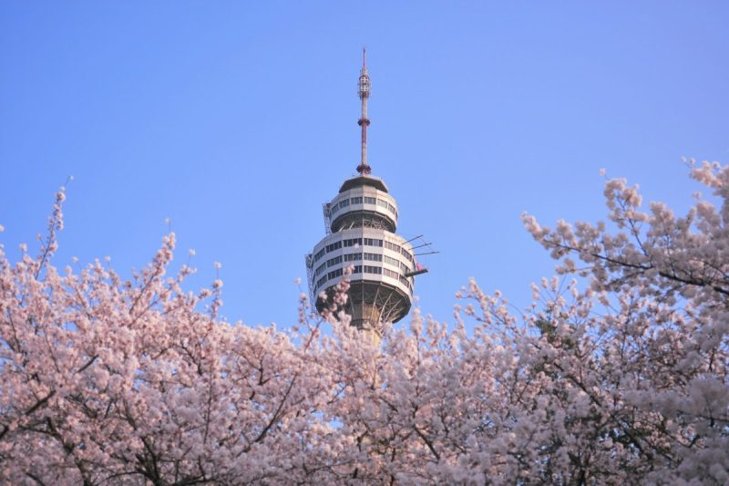 cherry blossoms in daegu