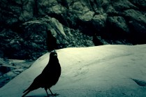 Oiseaux noirs