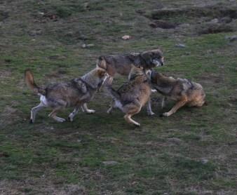 Bagarre chez les loup