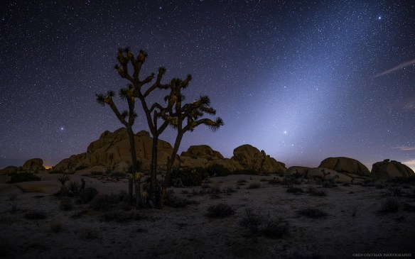 Zodiacal light shines brightly behind a Joshua Tree.
