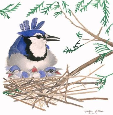 Bluejay in watercolor by Siobhan Sullivan 2015