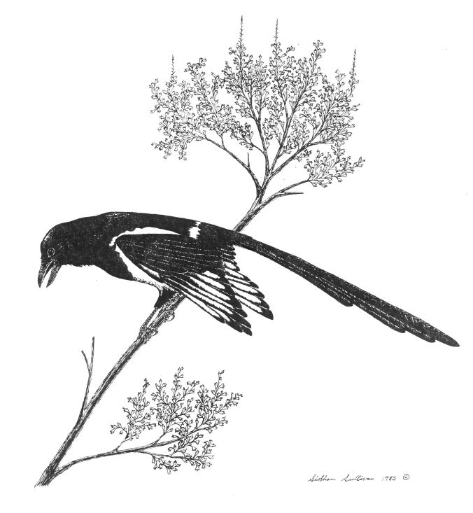 Magpie perched in sagebrush by Siobhan Sullivan