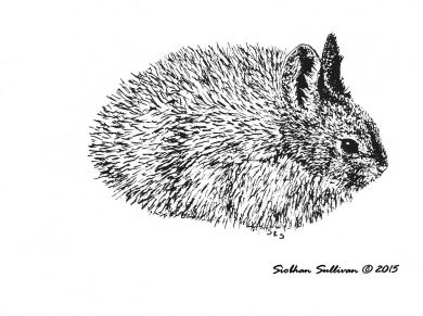 sagebrush steppe pygmy rabbit by Siobhan Sullivan