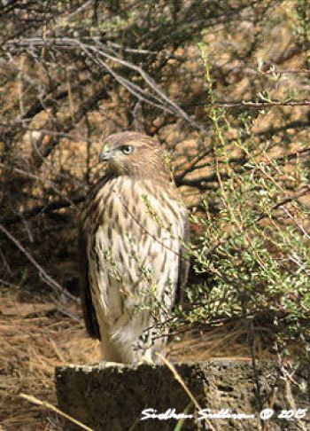 Stronger than the wind Coopers Hawk