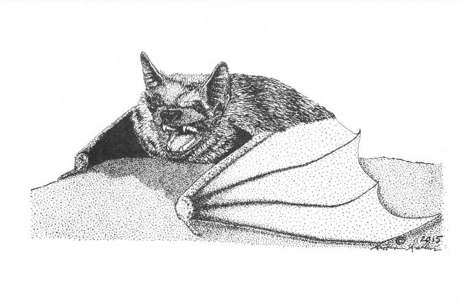 Little Brown Bat pen-and-ink illustration by Siobhan Sullivan