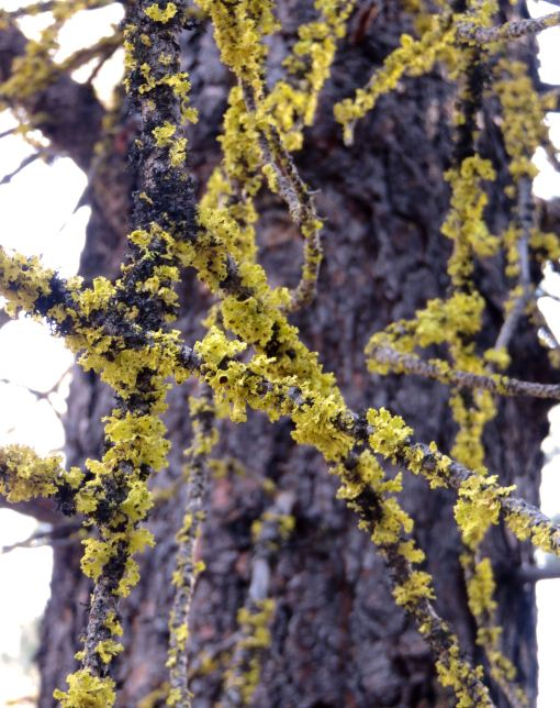 Brown-eyed sunshine lichen