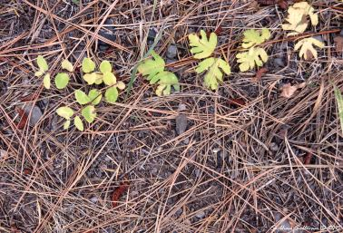 MetoliusPreserve snowberry branch