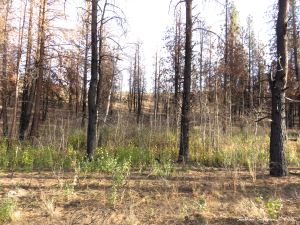 After the fire lots of aspen