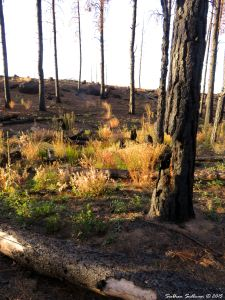 Burned Skyline forest