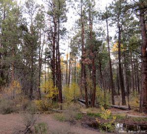 Ponderosa pine & aspen forest