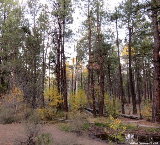 Ponderosa pine & aspen