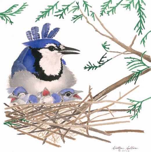 Blue Jay by Siobhan Sullivan
