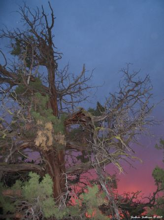 Old western juniper tree at dusk