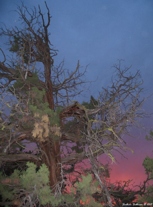 Successful invaders Old western juniper tree at dusk