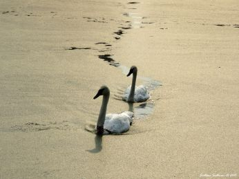 Swan song Trumpeter Swans, Sunriver, Oregon