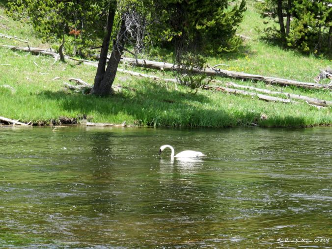 Trumpeter Swan, Yellowstone National Park, Wyoming