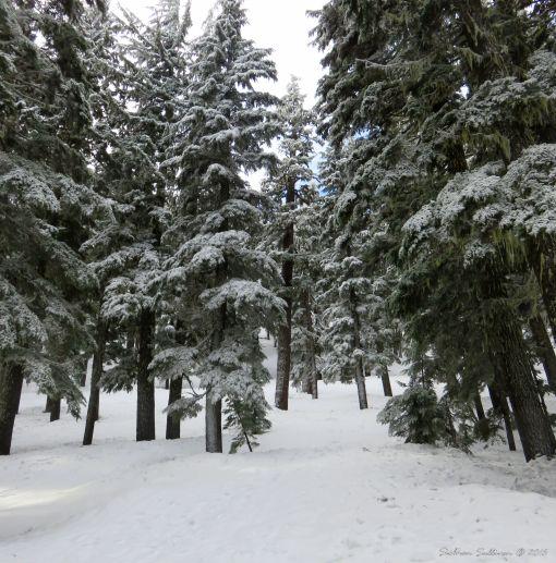 A snowy Mountain Hemlock forest