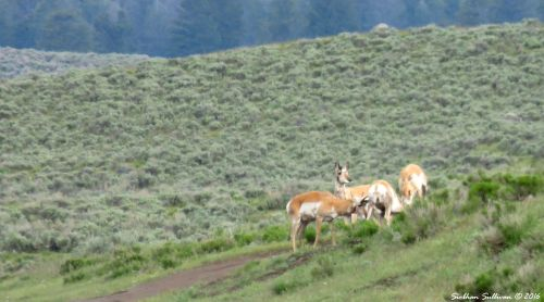 Lewis and Clark Critter Quiz - Pronghorn at Yellowstone National Park, WY