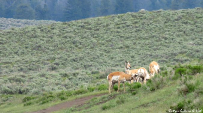 Pronghorn at Yellowstone National Park, WY