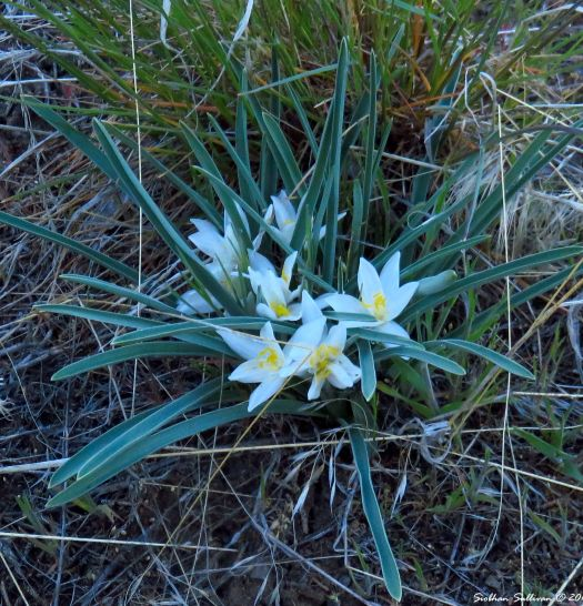 Starlily or Sand lily, Leucocrinum montanum