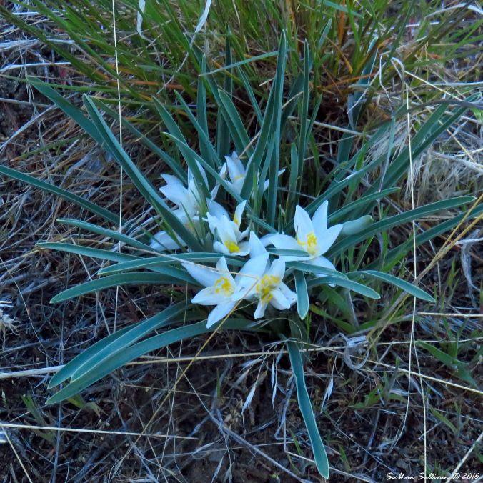 Sand lily, Leucocrinum montanum