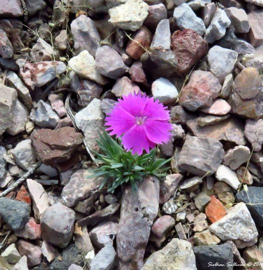 Optimism -Carnation, Dianthus sp.