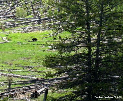 Yellowstone memories, Black bear family, Yellowstone National Park