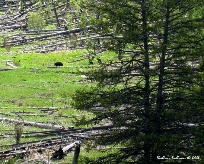 Black bear family, Yellowstone National Park
