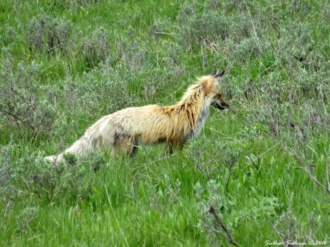 Fox Yellowstone National Park 4June2015