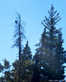 Bald eagle at Hosmer Lake 10Aug2016
