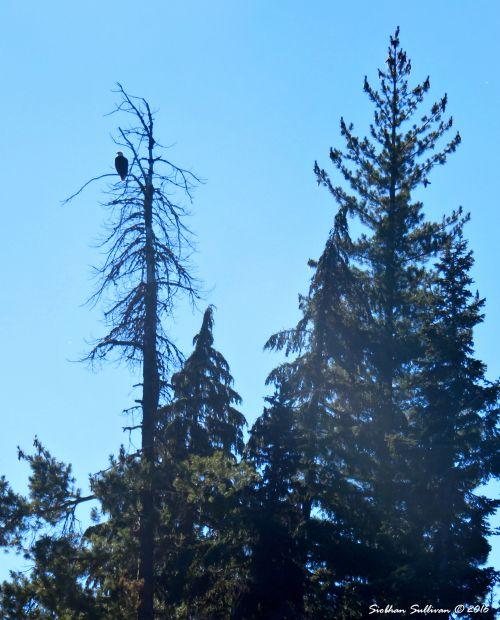 Bald eagle at Hosmer Lake 10Aug2016