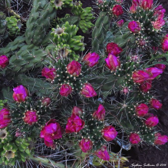 Prickly in pink Cholla, Cylindropuntia sp